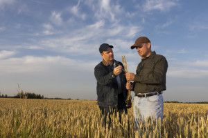 A royalty free image from the farming industry of two farmers inspecting wheat.