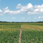 preventing Iron Deficiency Chlorosis in soybeans with Crop Nutrients